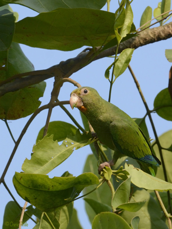 PHOTO A vine provides the Cobalt-winged Parakeets tasty, tender leaves to eat