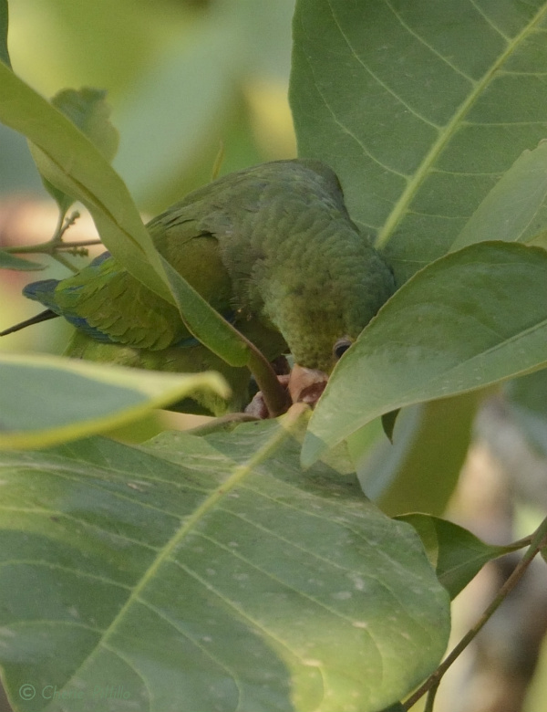 Caught in the act as a Cobalt-winged Parakeet prunes leaves from this tree