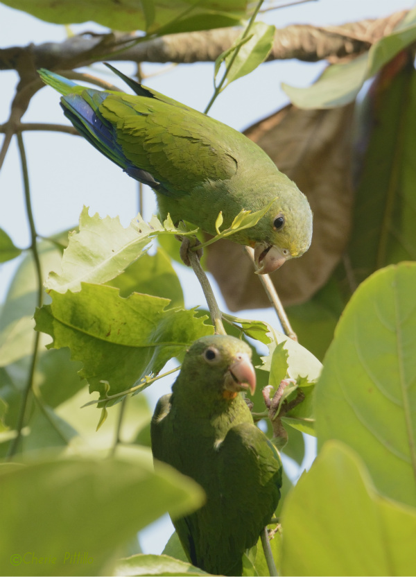 cobalt-winged-parakeets-feed-on-vine-leaves