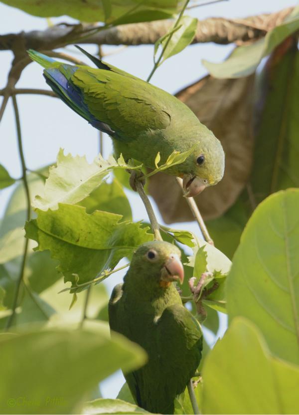 cobalt-winged-parakeets-feed-on-vine-leaves