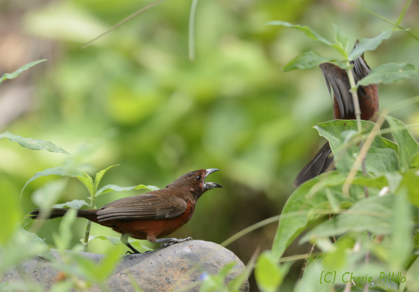 Crouched body with gaping mouth of Silver-beaked Tanager defense behavior