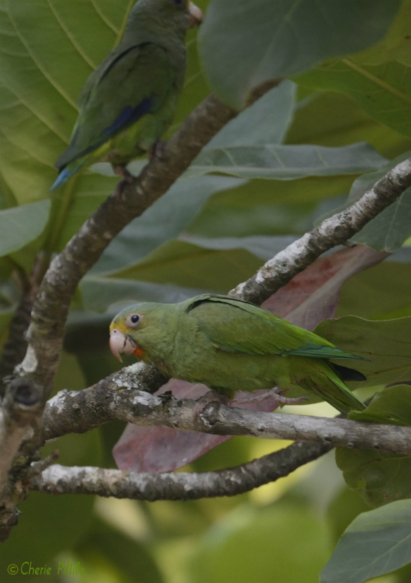 Did you notice both Cobalt-winged Parakeets or just the bottom one?