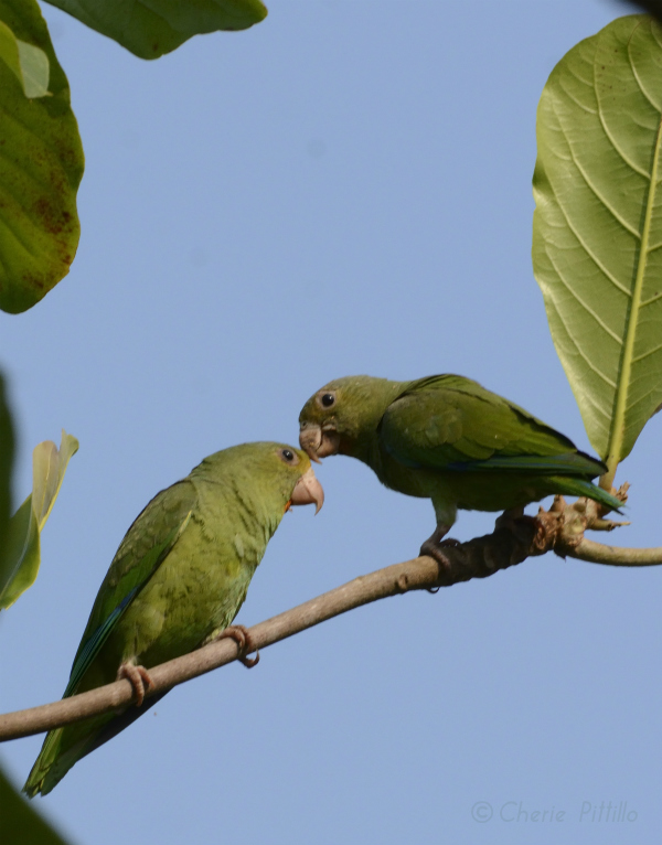 parakeet-pair-preen-each-other-to-promote-social-bonding