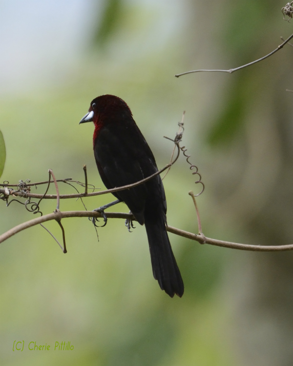 Silver beaked tanager male looks black from a distance