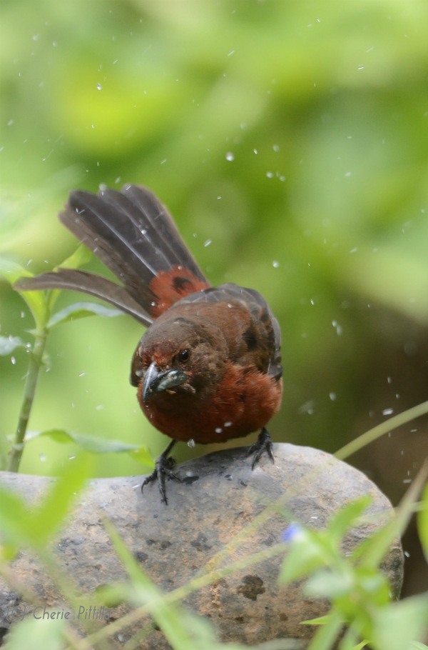 Silver beaked tanager shakes off water