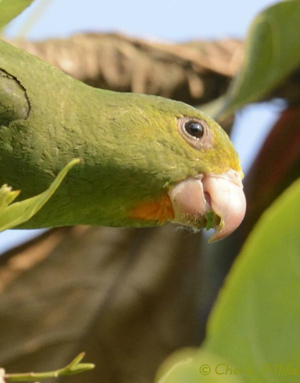 'Soul Patch' Cobalt-winged Parakeet