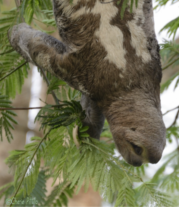 A sloth can eat leaves while hanging upside down