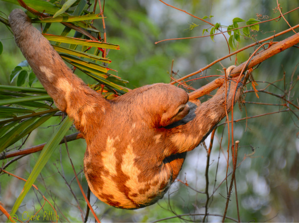 In sunlight a three toed sloth looks more orange than brown or gray