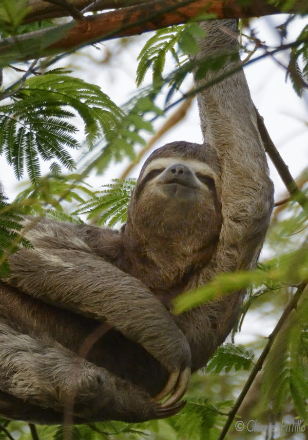 It seems the sloth enjoys the pleasures of scratching