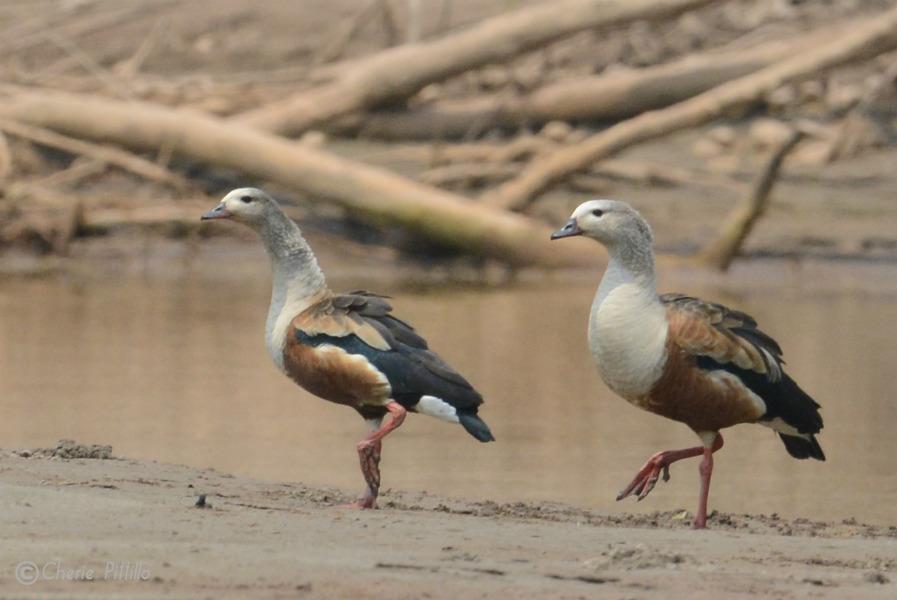 orinoco-goose-rare-in-peru