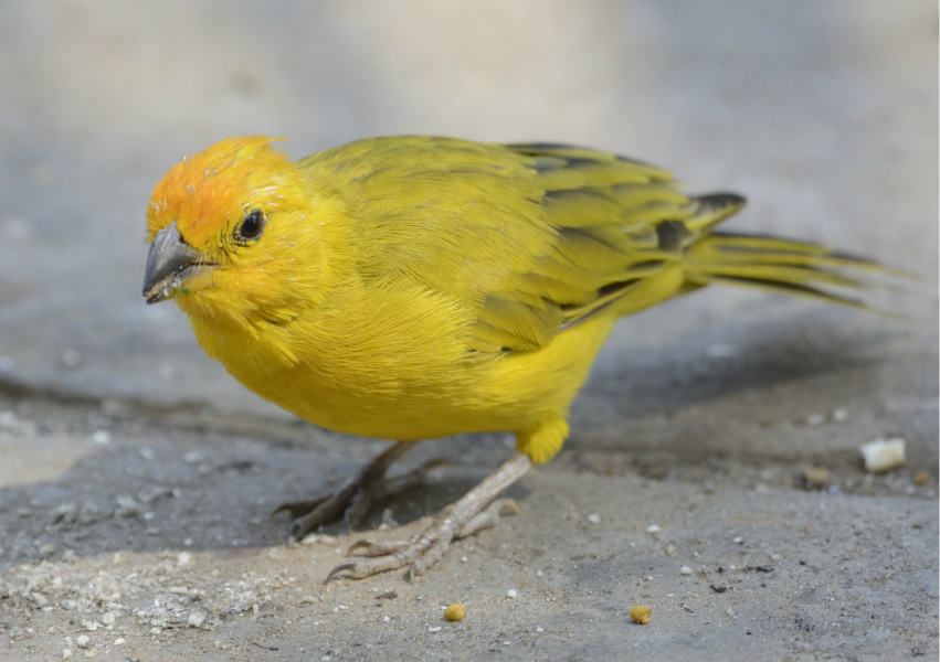 saffron-finch
