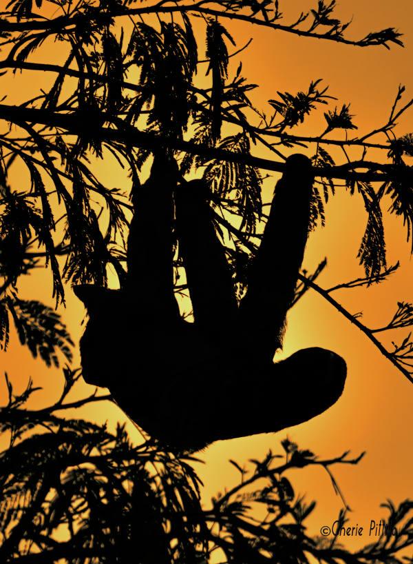 Sloth at sunset
