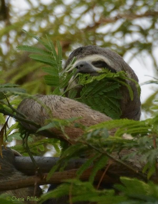 The tree dwelling three toed sloth feeds on tree leaves