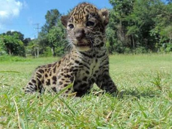 A local resident found two abandoned jaguar cubs in a field in Calakmul, Campeche. (PHOTO: sipse.com)