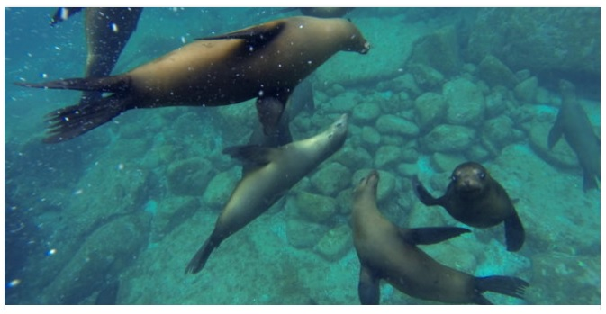 Mexico expands program to save sea lions (DCIM100GOPRO)