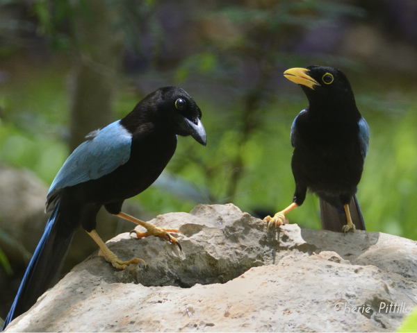 Yucatan Jay adult on left