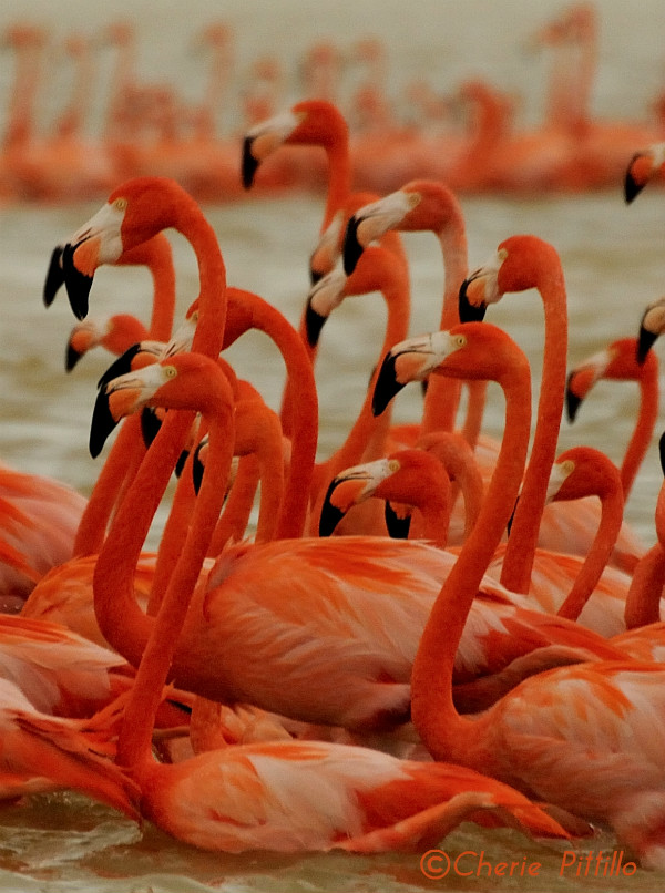9 or so American flamingos dancing