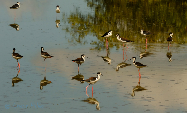 Black-necked Stilts are sandpipers