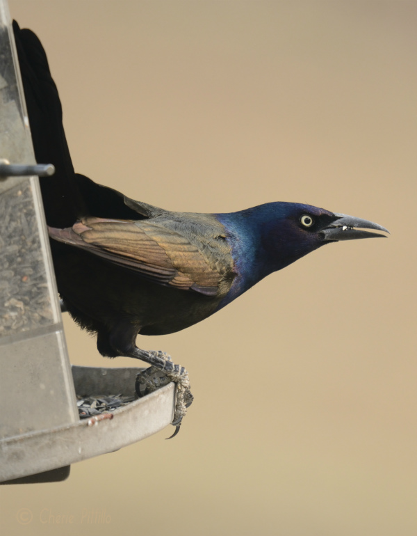 Common Grackle at feeder