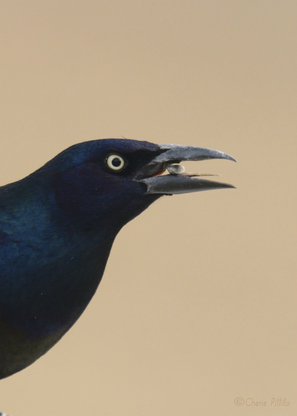 Common Grackle eating sunflower seed from feeder