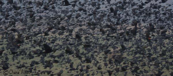 Dense, mixed flock of birds