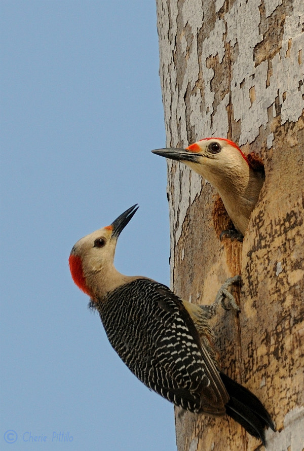 female-golden-fronted-woodpecker-left-has-less-red-feathers-on-her-head-than-the-male