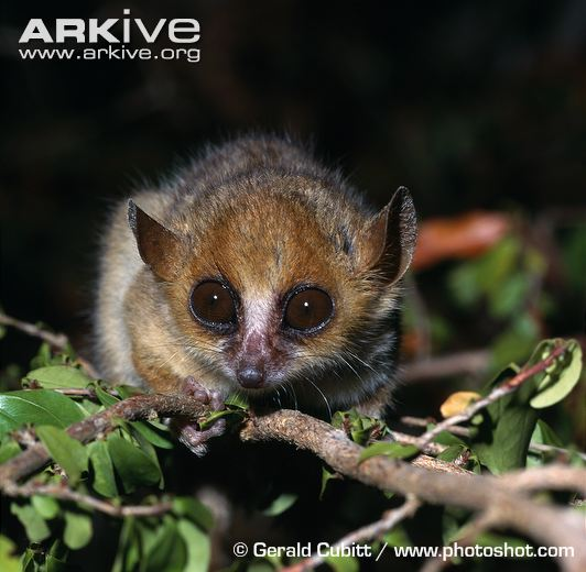 madame-berthes-mouse-lemur