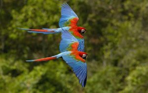 Red macaws in flight. (PHOTO: all-free-download.com)