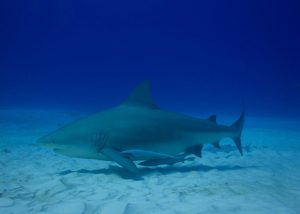 Bull sharks. (PHOTO: Isla Mujeres Trips)