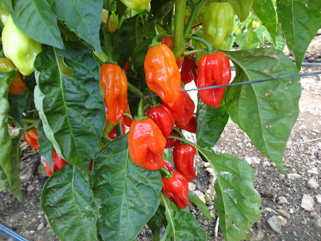 Habaneros peppers are grown throughout Yucatan Peninsula. (PHOTO: freshplaza.com)