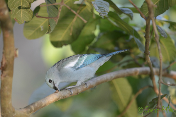 Blue-gray Tanager gleans critters from tree limbs
