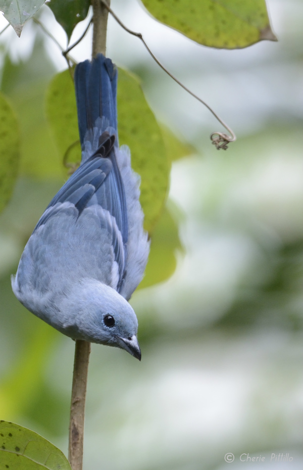 Blue-gray Tanager in Peruvian Amazon