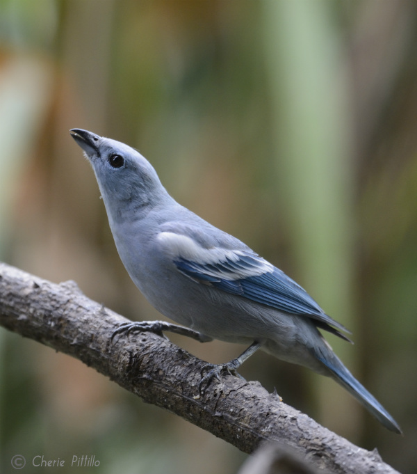 Blue-gray Tanager in Peruvian rainforest