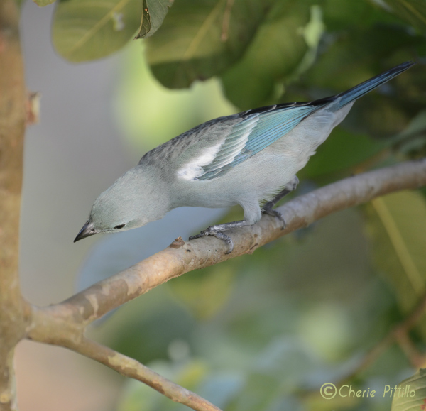 Blue-gray Tanager looks head down for food on and under limbs and foliage