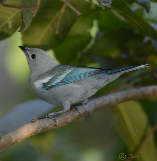 Bright wings of Blue-gray Tanager in rainforest edge in Peru