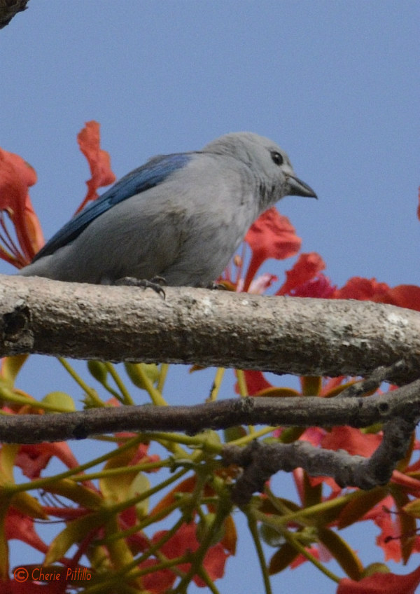 In the Yucatan and Lima Peru, the Blue-gray Tanager is blue and gray