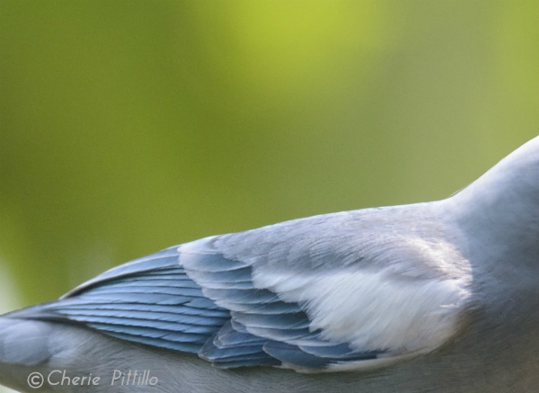 Some subspecies of Blue-gray Tanagers sport white wing coverts like this subspecies in the Peruvian Amazon