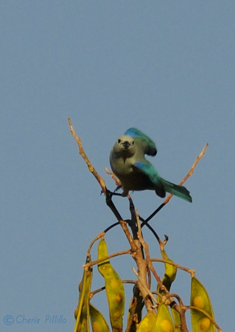 Sunlight reflects on the Blue-gray Tanager wings to a Caribbean Blue in the Yucatan