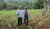 Farmers Gualberto Casanova (left) and Dionisio Yam Moo stand among young corn plants in Yam Moo's improved milpa plot. (PHOTO: Gabriel Popkin)