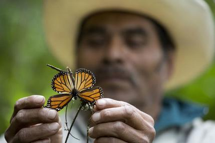 FILE - In this Nov. 12, 2015 file photo, a guide holds up a damaged and dying butterfly at the monarch butterfly reserve in Piedra Herrada, Mexico. The number of monarch butterflies wintering in Mexico dropped by 27 percent this year, reversing last year's recovery from historically low numbers, according to a study by government and independent experts released Thursday, Feb. 9, 2017. (AP Photo/Rebecca Blackwell, File)