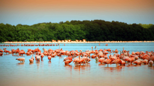 Flamingos at Celestun Lagoon, with the Mangrove in the back (Photo: Google)