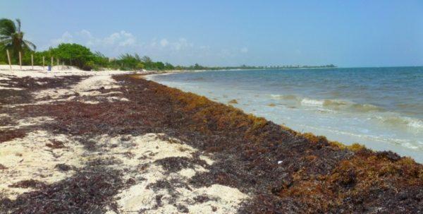 Sargasso accumulation on Playa del Carmen beach. (PHOTO: everythingplayadelcarmen.com)