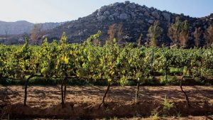 Vineyard in Valle de Guadalupe. (PHOTO: Getty Images)