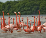 Pink flamingos Photo: Google