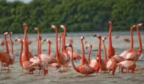Pink flamingos Photo: Google