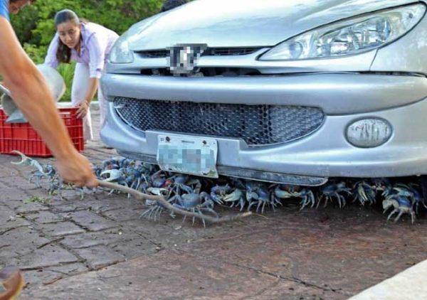 Blue crabs hiding under a car Photo: UnoTV