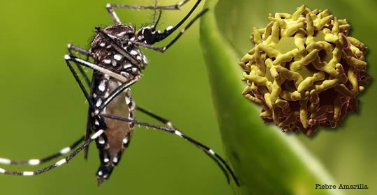 Mosquitoe Aedes Agipty (Photo: Google)