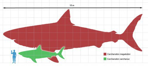 What Are the Differences Between a Megalodon and a Great