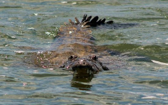 Cozumel Croc Seriously Injures Man Swimming In Pool The