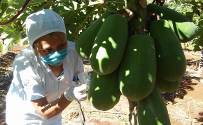 Recalled papaya illness reported in Ohio